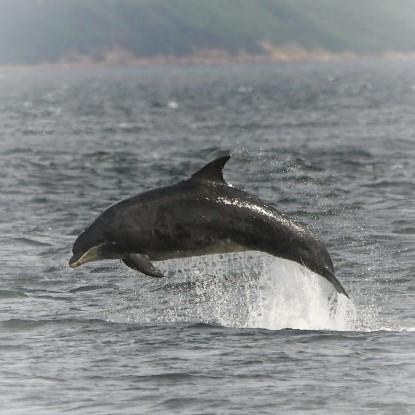 Dolphin Chanonry